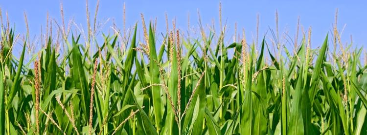 Corn Field of Dreams